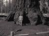 Sekwoja olbrzymia Generał Grant, drugie największe drzewo na świecie, Park Narodowy Kings Canyon w Kaliforni, 28-29 VI 2008