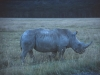Nosorożec, Park Narodowy Nakuru, Kenia II 2002