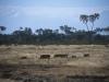 Guźce, Park Narodowy Samburu, Kenia II 2002