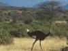 Struś afrykański, Park Narodowy Samburu, Kenia II 2002