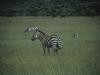Zebry, Park Narodowy Masai, Kenia II 2012