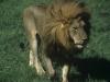 Duży kot, Park Narodowy Masai, Kenia II 2012