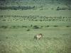 Duży kot i bawoły, Park Narodowy Masai, II 2012