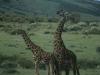Żyrafy, Park Narodowy Masai, Kenia II 2012
