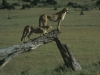 Gepardy, Park Narodowy Masai, Kenia II 2012