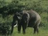 Słoń afrykański, Park Narodowy Masai, Kenia II 2012